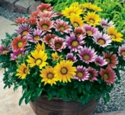 GAZANIA KISS MIX (240 Plantas).