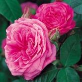 ROSAL GERTRUDE JEKYLL ® (Ausbord)