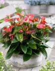 Plantas de Anthurium