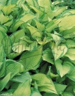Hostas en Maceta