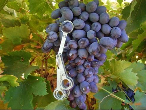 Uva de mesa autumn royal pa fitoagr cola - Variedades de uva de mesa ...