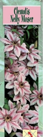 CLEMATIS NELLY MOSER [JJUB] T-17
