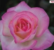 ROSAL PRINCESSE DE MONACO ® - Meimagarmic