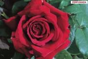 ROSAL BOTERO ® - Meiafone