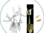 Semillas de Zoysia Japónica