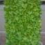 BEGONIA SUPER OLYMPIA BLANCA (Hoja Verde) SEMPERFLORENS