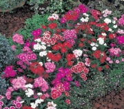 DIANTHUS TELSTAR MIX