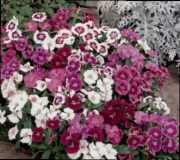 DIANTHUS IDEAL MIX