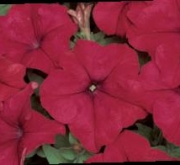 PETUNIA GRANDIFLORA DREAMS ROJA (240 Plantas).