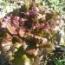 LECHUGA CAMPARI (Cerca de 2.400 Semillas.).