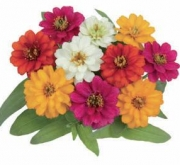 ZINNIA PROFUSSION DOUBLE MIXT