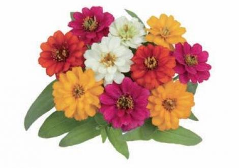 ZINNIA PROFUSSION DOUBLE MIXT (240 Plantas).