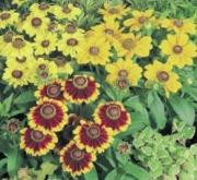 RUDBECKIA TOTO MIXT (240 Plantas).