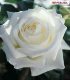 ROSAL PAU CASALS ® - Meifaisel