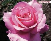 ROSAL PRESTIGE DE LYON ® - Meimino