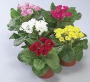 PRIMULA ROSSANA MIX (240 Plantas).