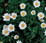 CRYSANTHEMUM SNOWLAND (240 Plantas).