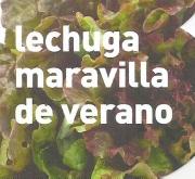 PLANTEL DE LECHUGA MARAVILLA