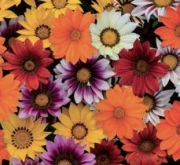 GAZANIA NEW DAY MIX (240 Plantas).