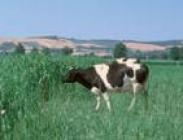 Semillas de Pasto del Sudán