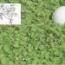 DICHONDRA REPENS Pildorada (500 gr.).