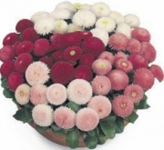 BELLIS TASSO MIX (240 Plantas).