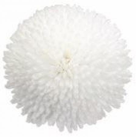 BELLIS TASSO WHITE (240 Plantas).