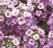 ALYSSUM CLEAR CRYSTAL LAVENDER SHADES (240...