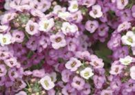 ALYSSUM CLEAR CRYSTAL LAVENDER SHADES