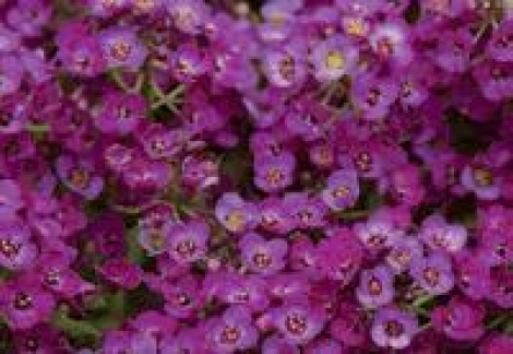 ALYSSUM CLEAR CRYSTAL PURPLE (240 Plantas).