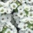 ALYSSUM CLEAR CRYSTAL WHITE  (240 Plantas).