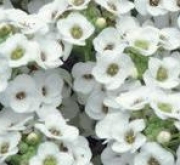 ALYSSUM CLEAR CRYSTAL WHITE (240 Plantas).