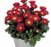 BELLIS GALAXY ROJO