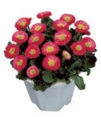 BELLIS GALAXY ROSA