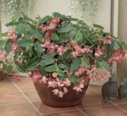 BEGONIA DRAGON WING ROSA F1