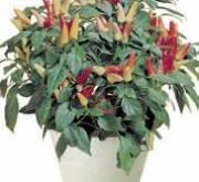 CAPSYCUM RED MISSILE ROJO (240 Plantas).
