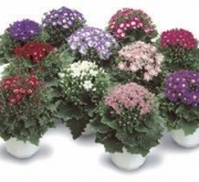 CINERARIA STARWARDS F1 (240 Plantas).