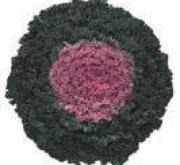 COL ORNAMENTAL RIZADA ROSA (144 Plantas).