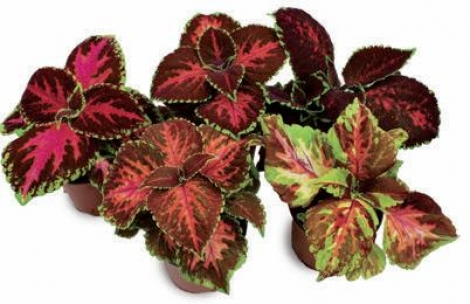 COLEUS MOSAICO MIX (240 Plantas).