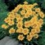 COREOPSIS RISING SUN (240 Plantas).