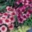 DIANTHUS SUPER PARFAIT (240 Plantas).