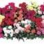 DIANTHUS DOBLE LILLIPOT (240 Plantas).