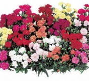 CLAVEL DOBLE LILLIPOT (240 Plantas).