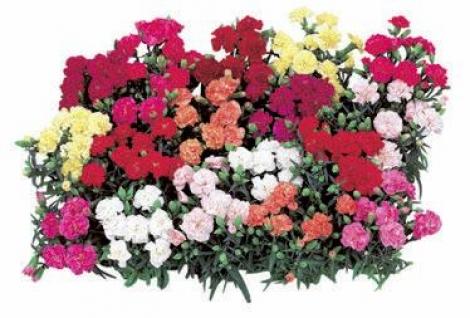 CLAVEL DOBLE LILLIPOT (240 Plantas).