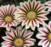 GAZANIA BIG KISS MIX (240 Plantas).