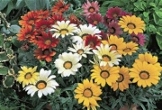 GAZANIA FROSTY KISS MIX