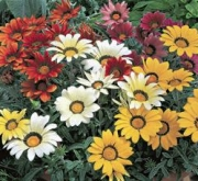 GAZANIA FROSTY KISS MIX (240 Plantas).