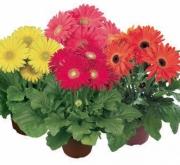 GERBERA GIANT/ MAXI MIX (144 Plantas).