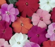 IMPATIENS NEW GUINEA DIVINE MIX
