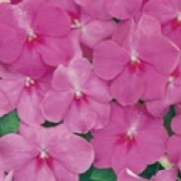 IMPATIENS ACCENT PREMIUM ROSE